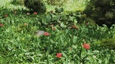 pays bas : Very beautiful red tulips on a flower bed.