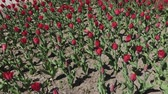 pays bas : Flowerbeds of red, yellow and orange tulips. Close up of red star tulips Vidéos Libres De Droits