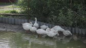 waterbird : Domestic white geese bathe in a large puddle.
