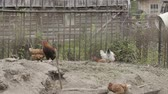 fowl : Beautiful domestic hens walk around the yard.