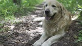 pet friendly : Golden retriever in forest