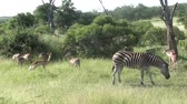 クルーガー : zebras and impalas in kruger national park