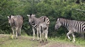クルーガー : group of zebras in south africa