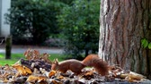 грызун : red squirrel looking for seeds and other foods and find peanuts on fall table