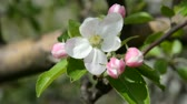crab apple : Apple blossom. Flowers with green leaves. Footage 1280x720. The original video without any processing.