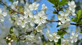 cherrytree : Cherry-tree blossoms. White flowers and green leaves against a blue sky. Bee pollinating flowers. Footage 1920x1080. Stock Footage