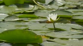 blossoming : White lily in the lake among green leaves. Camera shooting with a preset for high-quality postprocessing