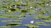 estuary : Picturesque panorama of a wild lake with water lilies in sunny day Stock Footage
