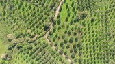 olivos : Aerial shot of olive trees from above camera facing downwards
