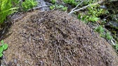antílope : Timelapse Wild ant hill in the forest.