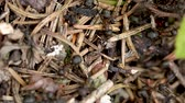 antílope : Wild ant hill in the forest closeup. Video with shallow depth of field