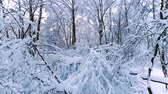 trees : Snowy branches in forest. Winter fairy background Stock Footage