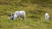 noruega : Reindeer in the North of Norway, Nordkapp