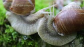 musgoso : Helix pomatia also Roman snail, Burgundy snail, edible snail or escargot, is a species of large, edible, air-breathing land snail, a terrestrial pulmonate gastropod mollusk in the family Helicidae.