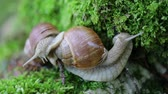 csiga : Helix pomatia also Roman snail, Burgundy snail, edible snail or escargot, is a species of large, edible, air-breathing land snail, a terrestrial pulmonate gastropod mollusk in the family Helicidae.