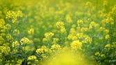 масличные культуры : Mustard flowers. Mustard? mystical flower of happiness and health.