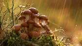 mushroom growing : Armillaria Mushrooms of honey agaric In a Sunny forest in the rain. Honey Fungus are considered in Ukraine, Russia, Poland, Germany and other European countries as one of the best wild mushrooms. Stock Footage