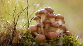 мед : Armillaria Mushrooms of honey agaric In a Sunny forest in the rain. Honey Fungus are considered in Ukraine, Russia, Poland, Germany and other European countries as one of the best wild mushrooms. Стоковые видеозаписи