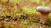 mushroom growing : Mushroom Boletus In a Sunny forest in the rain. Boletus is a genus of mushroom-producing fungi, composition over 100 species. Stock Footage