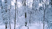 noel ağacı : Snowy branches in forest. Winter fairy background Stok Video