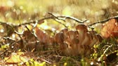 fungos : Armillaria Mushrooms of honey agaric In a Sunny forest in the rain. Honey Fungus are considered in Ukraine, Russia, Poland, Germany and other European countries as one of the best wild mushrooms. Stock Footage