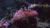 clownfish : Topical saltwater fish, Anemonefish. Clownfish or anemonefish are fishes from the subfamily Amphiprioninae in the family Pomacentridae.