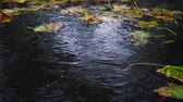 asfalt : Autumn rain in bad weather, rain drops on the surface of the puddle with fallen leaves. Stok Video
