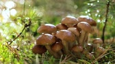 szárak : Armillaria Mushrooms of honey agaric In a Sunny forest. Honey Fungus are considered in Ukraine, Russia, Poland, Germany and other European countries as one of the best wild mushrooms.