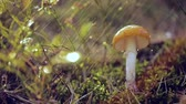 mushroom growing : Fly agaric Mushroom In a Sunny forest in the rain. Amanita muscaria, commonly known as the fly agaric or fly amanita, is a basidiomycete mushroom, one of many in the genus Amanita. Stock Footage