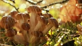 setas : Armillaria Mushrooms of honey agaric In a Sunny forest in the rain. Honey Fungus are considered in Ukraine, Russia, Poland, Germany and other European countries as one of the best wild mushrooms. Stock Footage
