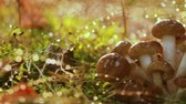 musgoso : Armillaria Mushrooms of honey agaric In a Sunny forest in the rain. Honey Fungus are regarded in Ukraine, Russia, Poland, Germany and other European countries as one of the best wild mushrooms.