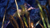 comum : Common seadragon or weedy seadragon (Phyllopteryx taeniolatus) is a marine fish related to the seahorse.