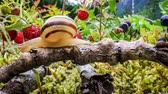 perezoso : Snail slowly creeping along the branch of a tree super macro close-up with slider action