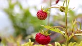 casco : Berry of ripe strawberries close up. Nature of Norway