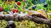 продукты питания : Snail slowly creeping along the branch of a tree super macro close-up with slider action