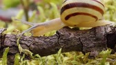 owoce : Snail slowly creeping along super macro close-up