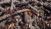 comunione : Wild ant hill in the forest super macro close-up shot