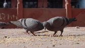 Pigeons on the walking street slow motion move. India Rajasthan.