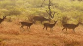 tigris : Chital or cheetal, also known as spotted deer, chital deer, and axis deer, is a species of deer that is native in the Indian subcontinent. Ranthambore National Park Sawai Madhopur Rajasthan India.