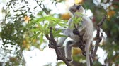 szafari : Gray langur (Semnopithecus), also called Hanuman langur is a genus of Old World monkeys native to the Indian subcontinent. Ranthambore National Park Sawai Madhopur Rajasthan India