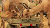カーニバル : Camels in slow motion at the Pushkar Fair, also called the Pushkar Camel Fair or locally as Kartik Mela is an annual multi-day livestock fair and cultural held in the town of Pushkar Rajasthan, India.