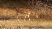 fawn : Chital or cheetal, also known as spotted deer, chital deer, and axis deer, is a species of deer that is native in the Indian subcontinent. Ranthambore National Park Sawai Madhopur Rajasthan India.