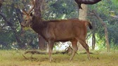 raro : Sambar Rusa unicolor is a large deer native to the Indian subcontinent, South China, and Southeast Asia that is listed as a vulnerable species. Ranthambore National Park Sawai Madhopur Rajasthan India Vídeos