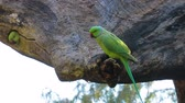 bird watching : Rose-ringed parakeet Psittacula krameri, also known as the ring-necked parakeet, is a medium-sized parrot in the genus Psittacula, of the family Psittacidae. Ranthambore National Park Rajasthan India Stock Footage