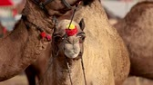 locations : Camels in slow motion at the Pushkar Fair, also called the Pushkar Camel Fair or locally as Kartik Mela is an annual multi-day livestock fair and cultural held in the town of Pushkar Rajasthan, India.
