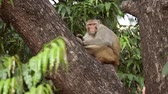 primát : Rhesus macaque (Macaca mulatta) in slow motion is one of the best-known species of Old World monkeys. Ranthambore National Park Sawai Madhopur Rajasthan India