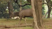szafari : Sambar Rusa unicolor is a large deer native to the Indian subcontinent, South China, and Southeast Asia that is listed as a vulnerable species. Ranthambore National Park Sawai Madhopur Rajasthan India Stock mozgókép