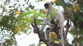 rod : Gray langur (Semnopithecus), also called Hanuman langur is a genus of Old World monkeys native to the Indian subcontinent. Ranthambore National Park Sawai Madhopur Rajasthan India