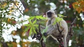 indian subcontinent : Gray langur (Semnopithecus), also called Hanuman langur is a genus of Old World monkeys native to the Indian subcontinent. Ranthambore National Park Sawai Madhopur Rajasthan India