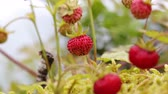 船体 : Berry of ripe strawberries close up. Nature of Norway